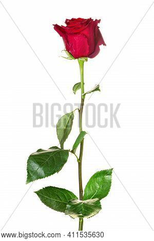 Beautiful Red Rose With Long Stem Isolated On White Background
