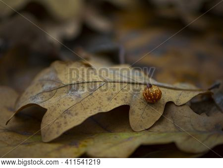 Dry Oak Leaves In Autumn Park Close-up. Dry Autumn Oak Leaf. Autumn Background With Oak Leaf In The