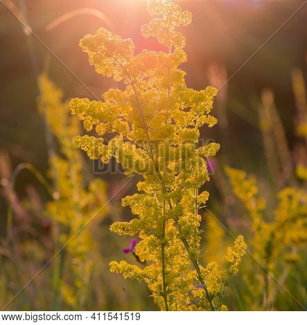 Tall Yellow Goldenrod Flowers In A Field In The Bright Orange Rays Of The Setting Sun.