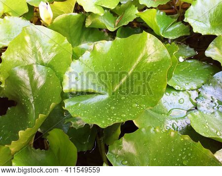 Background Of Green Leaves With Drops Of Water In Tropical Forest Of The French Antilles. Close Up O