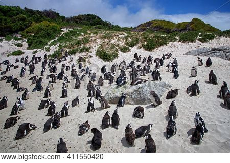 Boulders Penguin Colony, Boulders Beach, Cape Town, South Africa. Black Footed Penguins.