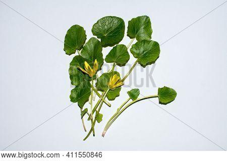 Flowering Spring Lesser Celandine (ficaria Verna).yellow Lesser Celandine Flowers In Spring Isolated