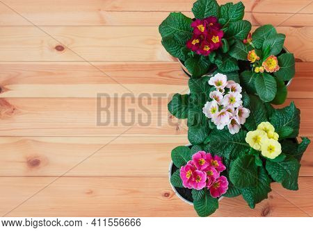 Border Made Of Colorful Primula Flowers On Wooden Background. Spring Easter Background. Top View, Co