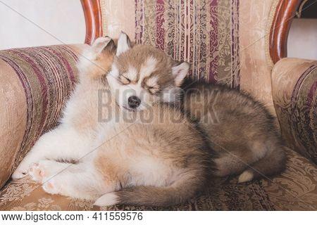 Cute Husky Puppies Sleeping At Home.copper Siberian Husky Puppy Sleeping On Chair.beautiful Siberian