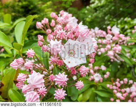 Closeup Shot Of White And Pink Evergreen Shrub Mountain Laurel (calico-bush Or Spoonwood) Flowers (k