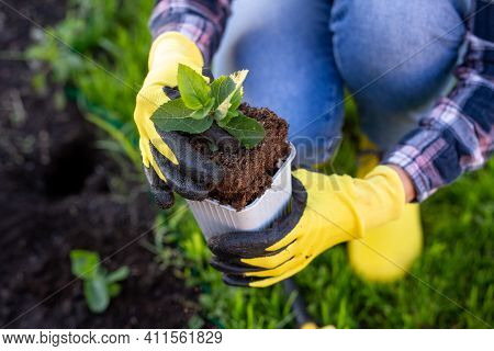 Hand Of Woman Gardener In Gloves Holds Seedling Of Small Apple Tree In Her Hands Preparing To Plant