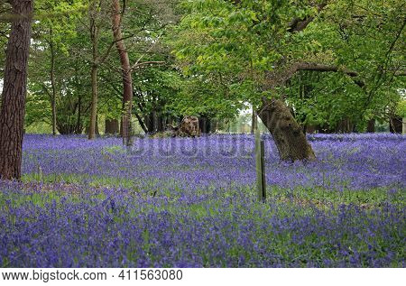 Spring Woodland With Bluebell, Hyacinthoides Non Scripta, Flowers Ground Cover With Large Broadleaf