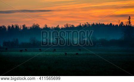 Wild Deer Flock Grazing In The Meadow During Dawn. Early Morning Scenery Of Wild Deer In Springtime.