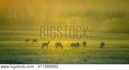 A Beautiful Misty Morning With Wild Red Deer Herd Grazing In The Meadow. Springtime Sunrise Scenery