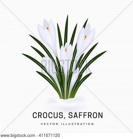 Crocus Sativus, White Saffron Flower. Bush Of An Early Spring Flower Plant. Flower Has Grown From Un