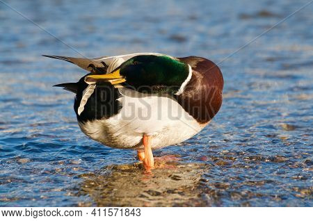 Beautiful Drake Male Mallard Duck Cleaning Its Feathers While Standing In The Shallow Water Of The L