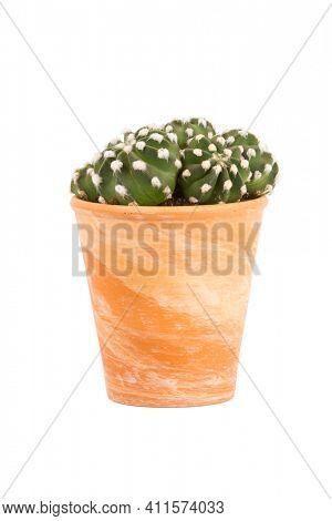 Small cactus plant, Echinopsis subdenudata genus, in terra cotta flower pot isolated  on white background