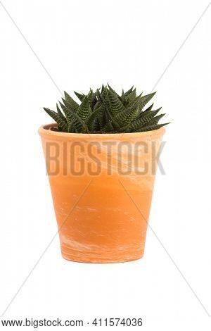 Small succulent plant, Haworthiopsis limifolia genus, in terra cotta flower pot isolated  on white background