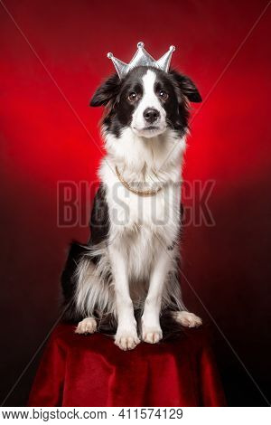 Cute Border Collie Dog Of White And Black Color Wearing Royal Crown And Necklace Sitting At Red Velv
