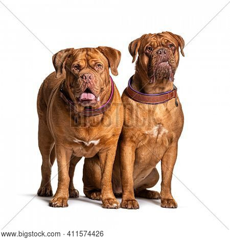 Couple of Dogue de Bordeaux sitting together, isolated on white