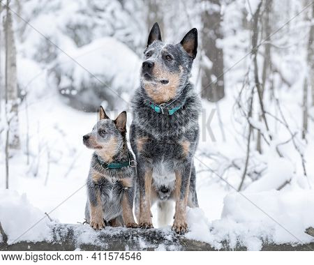 Portrait Of Two Australian Cattle Dogs Or Blue Heelers: Adult And Puppy. Pets At Winter Nature
