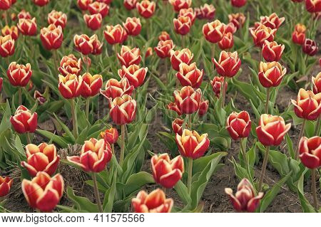 Flowers Expert. Growing Tulips For Sale. Plenty Of Flowers For Shop. Tulip Blooming In Spring. Brigh