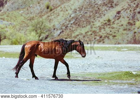Horse In Profile Walking In The Steppe. A Stallion With A Beautiful Mane. The Brown Horse Looks Ahea