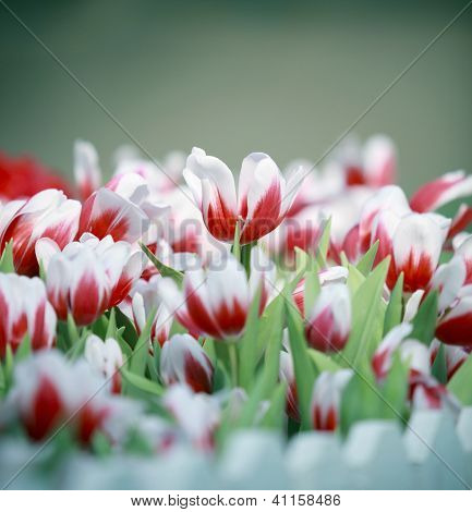 goup of white and red tulip flowers in the garden