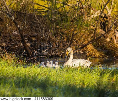 A Beautiful Family Of Wild Whooper Swand In Wetlands. Adult Birds With Cygnets Swimming In Water. Be