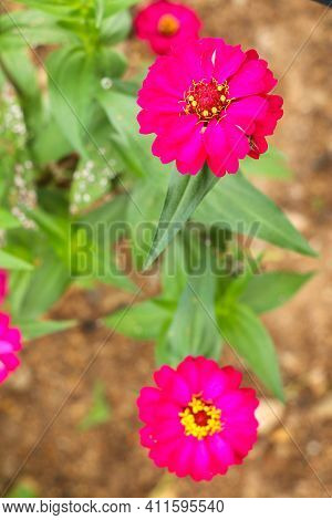 Pink Zinnia Flower Zinnia Violacea In Summer Garden On Sunny Day. Zinnia Is A Genus Of Plants Of The