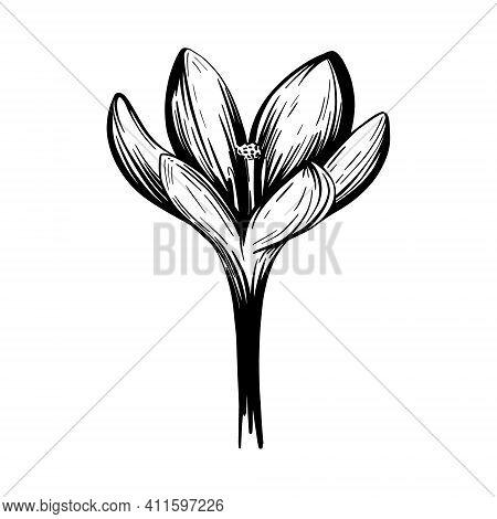 Saffron Flower Sketch. Crocus Isolated On A White Background. Hand-drawn Vector Illustration