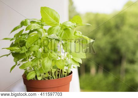 Green Basil Herb Growing In Pot At Balcony. Growing Herbs At Home Concept