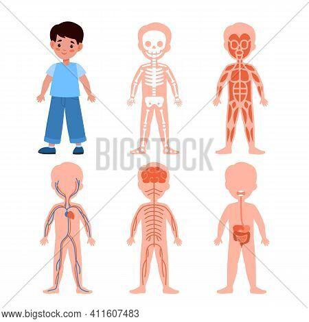 Boy Body System. Kids Anatomy Poster Set, Medical Education Schemes, Skeletal, Muscular And Nervous,