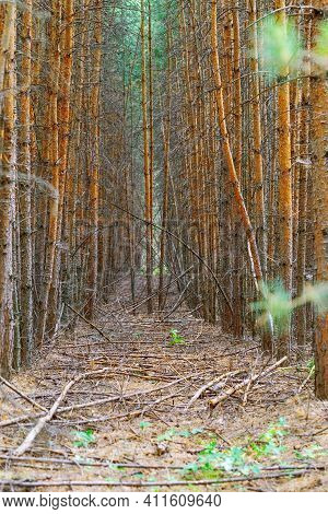 Wild, Difficult Passable Forest. Dense Forest. Thicket Of Forest. Falling Trees In Forest. Environme