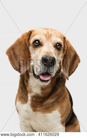 Close-up Portrait Of Big Beagle Dog Posing Isolated Over White Background.
