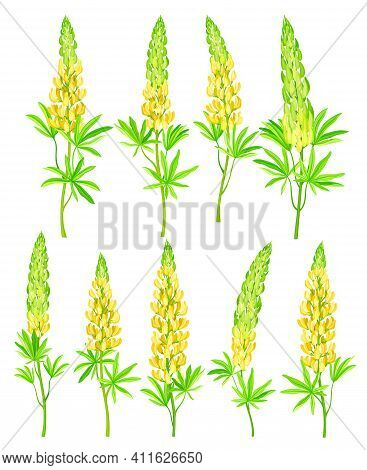 Lupin Or Lupine Flowering Plant With Palmately Green Leaves And Dense Flower Whorl Vector Set