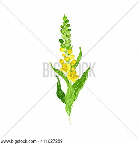 Mullein With Dense Rosette Of Leaves And Tall Flowering Stem Vector Illustration