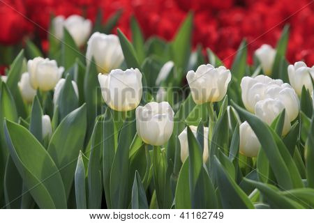 white tulip flower in garden