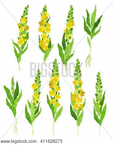 Mullein With Dense Rosette Of Leaves And Tall Flowering Stem Vector Set