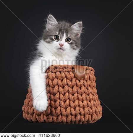 Cute Blue White Bicolor Siberian Forestcat, Sitting In Terracotta Knitted Basket. Looking Straight T
