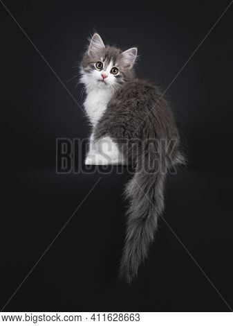 Cute Blue White Bicolor Siberian Forestcat, Sitting Backwards On Edge With Tail Hanging Down. Lookin