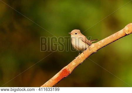 Asian Brown Flycatcher, Muscicapa Dauurica, Ganeshgudi, Karnataka, India