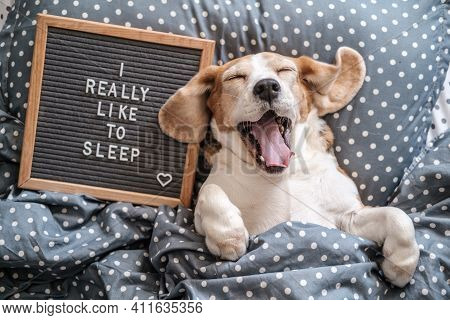 Cute Dog Breed Beagle Funny Sleeping On The Pillow Under The Blanket. Next To It Is A Wooden Board W