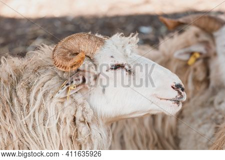 Ram Or Tup, Male Of Sheep With Horns In Rural Farm