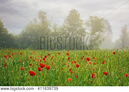 Red Poppy Field In The Mist. Beautiful Rural Landscape In Summer At Sunrise. Mysterious Atmosphere.