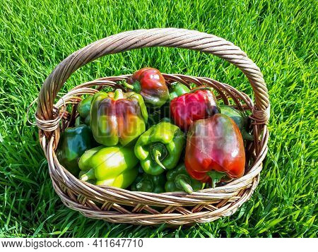 Beautiful Shot Of Basket Full With Ripe And Unripe Colorful Peppers In Bright Sunlight On Bright Gre