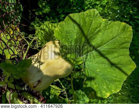 Green, Unripe Butternut Squash Of Cultivar Cucurbita Moschata Growing On A Plant Next To Flower