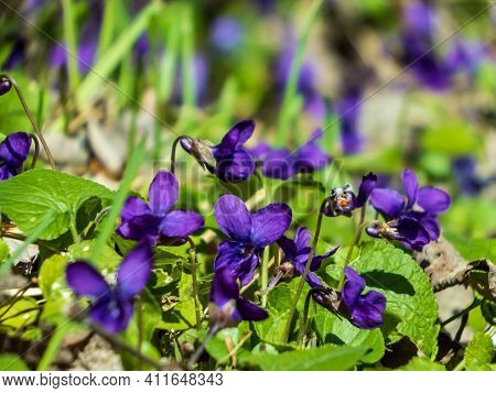 Early Spring Harbingers - Dark Purple Flowers Sweet Violet Or Wood Violet (viola Odorata) On The Edg