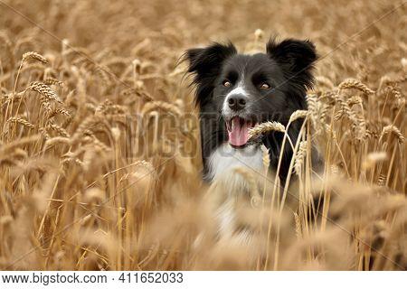 Border Collie Sitting On Brawn Grain Field