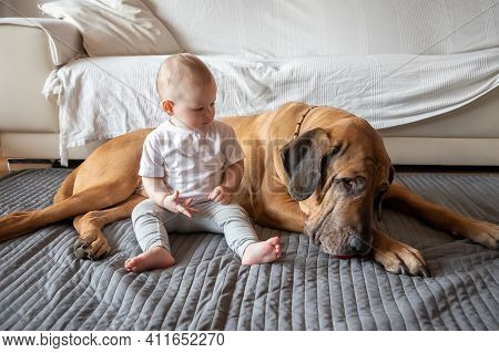 Little Girl Playing With Big Dog In Home Living Room In White Color. Dog Is Fila Brasileiro Breed. T