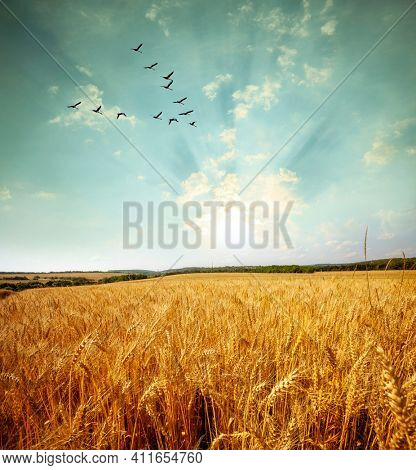 Flying birds over a yellow field at sunset