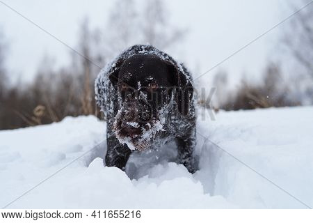 Hunting Dog In The Field In Winter. German Wire Hair On A Winter Hunt. . High Quality Photo