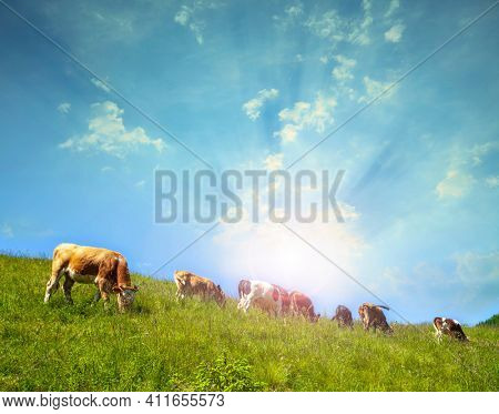 Cows graze on a sunny day in a mountainous area