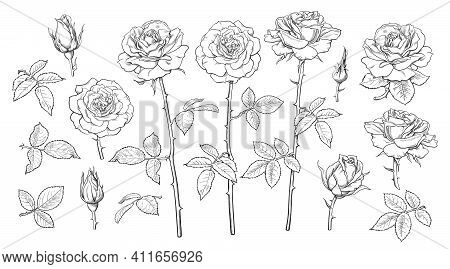 Big Set Of Rose Flowers, Open And Unblown Rosebuds, Leaves And Stems Hand Drawn Realistic Vector Ill