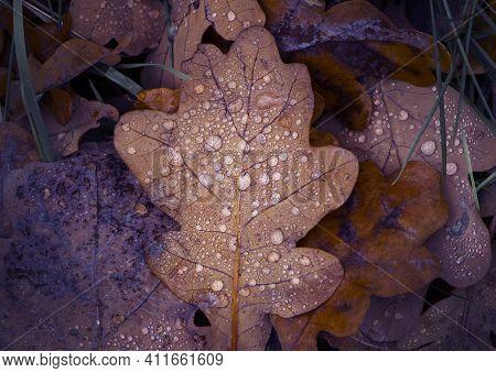 Fallen Oak Leaves With Dew. Autumn Oak Leaves.water Drops On Fall Oak Leaves Closeup. Dry Autumn Oak